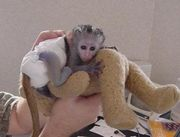 Succulent Male And Female Capuchin Monkeys For Adoption