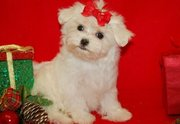 Home trained Maltese puppies available for good home