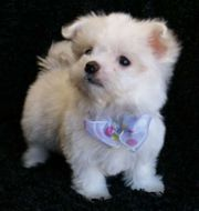 NICE maltese puppy for you hmoe