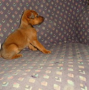 Cute Irish Terrier puppies for free adoption