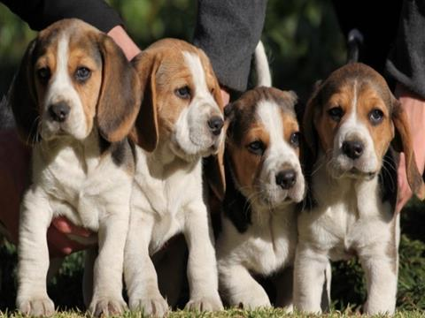 Beagle Puppies For Sale Carlow Dogs For Sale Puppies For Sale