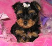 AMAZING TEACUP YORKIE PUPPIES FOR X-MAS