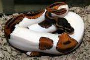 albino and piedbald pythons for sale