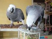 Congo African Grey Parrots.